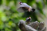 Java sparrow DSC_1122
