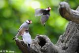Java sparrow DSC_1141
