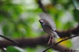 Java sparrow DSC_1320