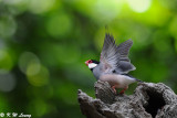 Java sparrow DSC_1156