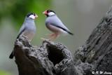 Java sparrow DSC_0663