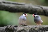 Java sparrow DSC_1163