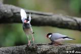Java sparrow DSC_1178