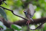 Java sparrow DSC_1324