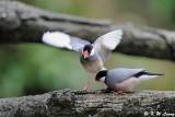Java sparrow DSC_1177