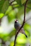 Java sparrow DSC_0697