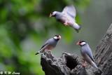 Java sparrow DSC_1231