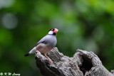 Java sparrow DSC_0974