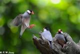 Java sparrow DSC_1140