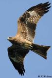 Black Kite (黑鳶)