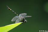 Ictinogomphus pertinax DSC_0612