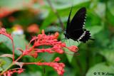 Papilio polytes DSC_6646