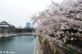 Sakura DSC_2586