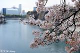 Sakura DSC_2675