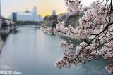 Sakura DSC_2677