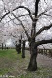 Sakura DSC_2655
