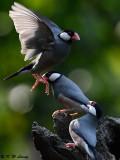 Java sparrow DSC_0188