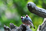 Java sparrow DSC_0166