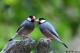 Java sparrow DSC_0204