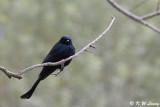 Black Drongo DSC_1854