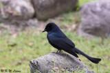 Black Drongo DSC_1857