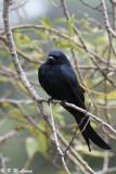 Black Drongo DSC_1846