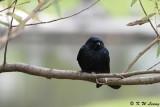 Black Drongo DSC_1875