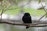 Black Drongo DSC_1877