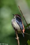 Scarlet-backed Flowerpecker DSC_3793