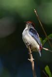 Scarlet-backed Flowerpecker DSC_3754
