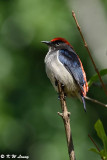 Scarlet-backed Flowerpecker DSC_3789