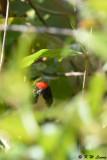 Scarlet-backed Flowerpecker DSC_3839