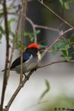 Scarlet-backed Flowerpecker DSC_4616