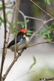 Scarlet-backed Flowerpecker DSC_4618