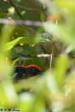Scarlet-backed Flowerpecker DSC_3840