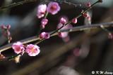 Plum blossom DSC_5303