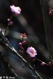 Plum blossom DSC_5299