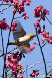 Japanese White-eye DSC_5904
