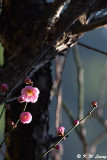 Plum blossom DSC_6317
