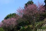 Plum blossom DSC_7164