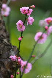 Plum blossom DSC_7233