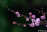 Plum blossom DSC_7210