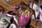 Orchid DSC_2134