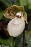 Orchid DSC_2127