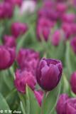 Tulip DSC_2266