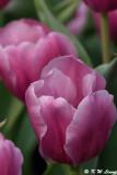 Tulip DSC_2238