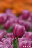 Tulip DSC_2235