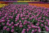 Tulips DSC_2230
