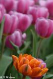 Tulip DSC_2293