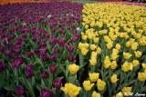 Tulips DSC_2274